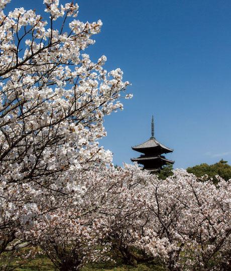 京都でお花見ならココ!定番から穴場まで、桜の名所8選