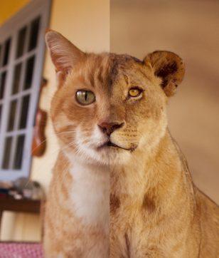 岩合光昭写真展「ネコライオン」佐野美術館